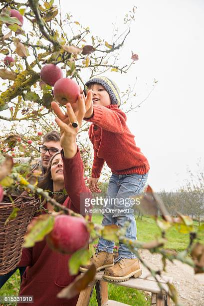 Family picking apples in an apple orchard, Bavaria, Germany