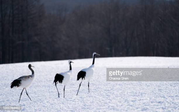 family - japanese crane stock pictures, royalty-free photos & images
