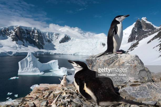 family - chinstrap penguin stock pictures, royalty-free photos & images