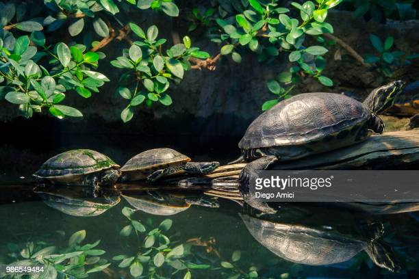 family - diego tortoise stock pictures, royalty-free photos & images