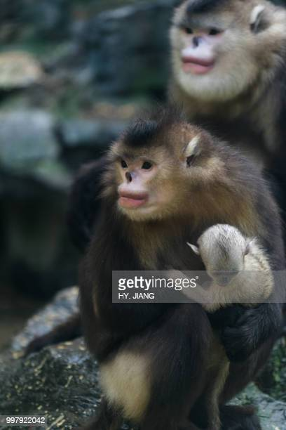family - yunnan snub nosed monkey stock pictures, royalty-free photos & images