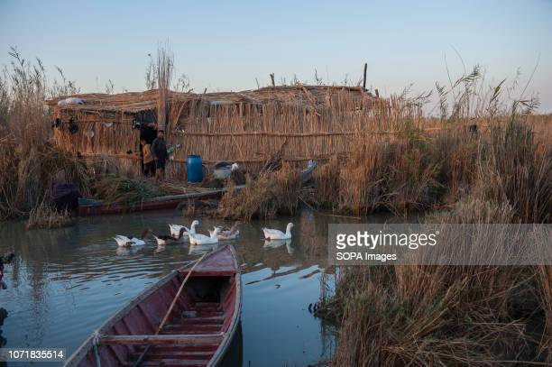 A family setting of buffalo herders in the Hamar Marsh in the Southern wetlands of Iraq Climate change dam building in Turkey and internal water...