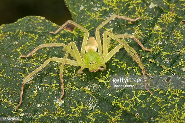 family sparassidae - huntsman spider stock pictures, royalty-free photos & images