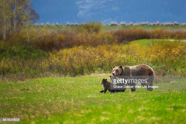 family stroll - grizzly bear stock photos and pictures