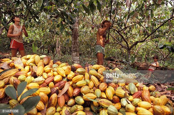 Family work at cocoa plantation cultural traditions of southeastern Bahia State Brazil