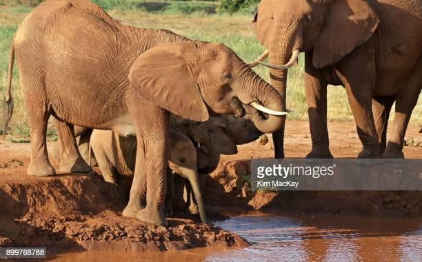 Family/baby elephants at the watering hole, Kenya