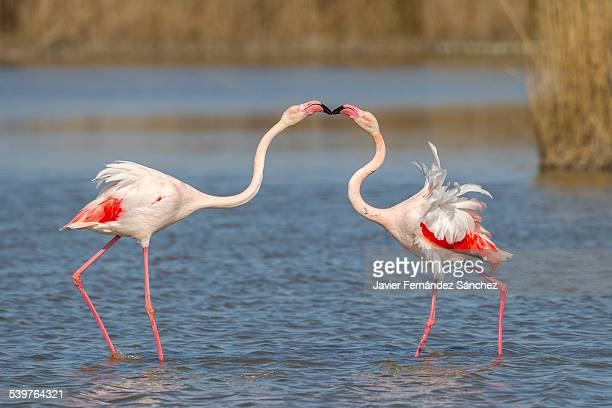 famingo dispute, phoenicopterus ruber - greater flamingo stock photos and pictures