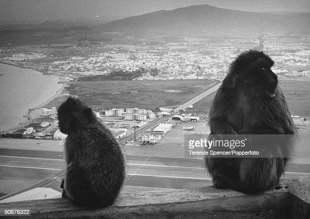 Famous apes sitting on parapets above Gibraltar and clambering about rock cliffs.