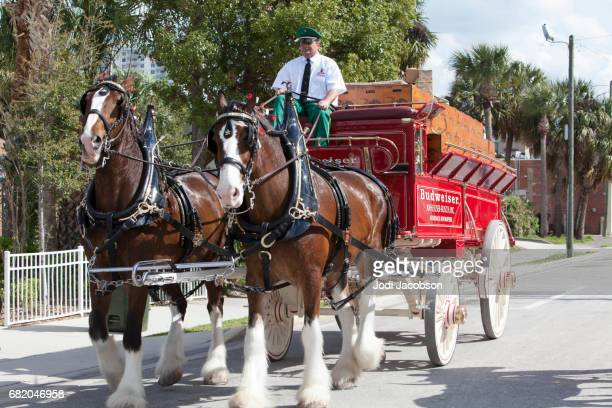 Famous Budweiser Clydesdale Horses in Daytona, Florida