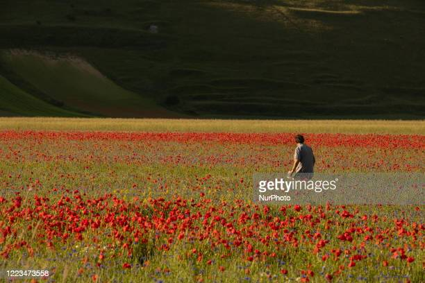 Famous colorful flowering in Castelluccio di Norcia on June 30, 2020. Lots of tourists are visiting the area in this period despite covid19 pandemy