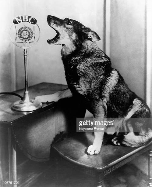 Famous Dog Rintintin At Nbc Radio In The United States 1931
