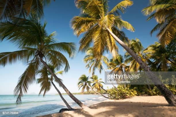 famous les salines beach in martinique caribbean - isla martinica fotografías e imágenes de stock