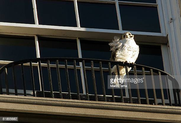 Famous redtailed hawk Pale Male perches on a neighboring balcony overlooking Central Park after having his nest removed by building management last...