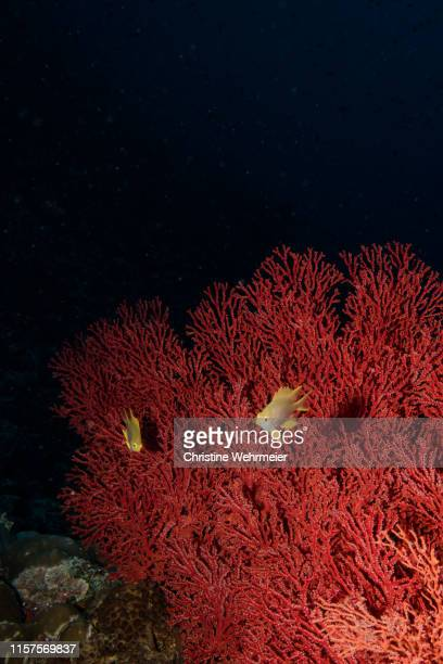 fan coral display - christine wehrmeier stock pictures, royalty-free photos & images
