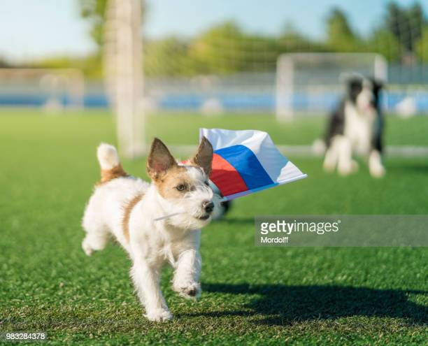 fan dog of russian football with country flag - forward athlete stock pictures, royalty-free photos & images