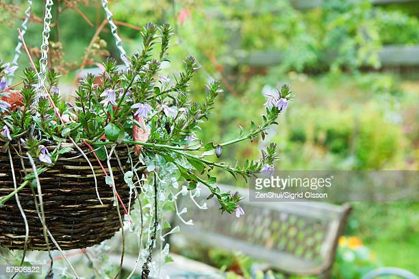 fan flower (scaevola aemula) in hanging basket - hanging basket stock pictures, royalty-free photos & images