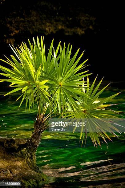 Fan palm in the Chac Mool cenote