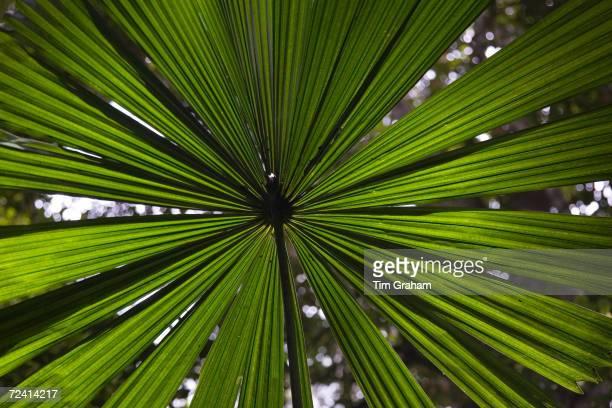 Fan Palm in the Daintree Rainforest Northern Queensland Australia