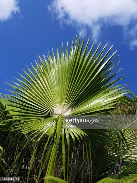 Fan palm tree against blue sky