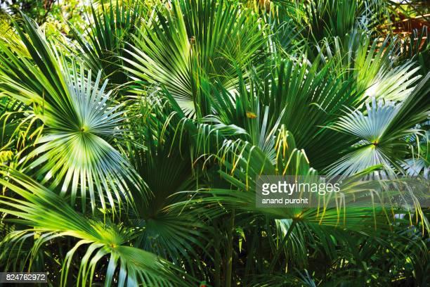 Fan Palm tree for garden decor