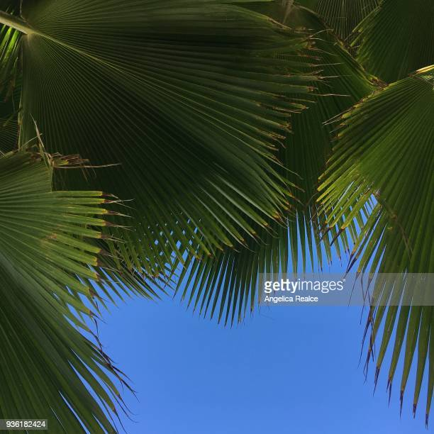 Fan Palm Tree Leaves and Clear Blue Sky