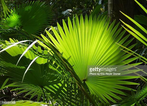 fan palm tree - cu fan - fotografias e filmes do acervo