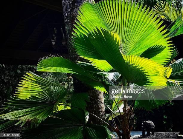 Fan Palm Tropical Garden