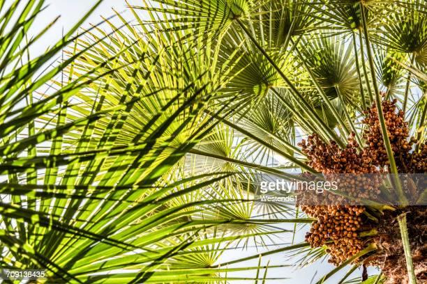 Fan palm Washingtonia filifera
