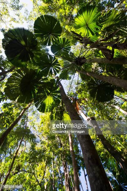 Fan Palms in the Daintree National Park
