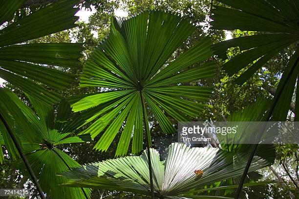 Fan Palms in the Daintree Rainforest Queensland Australia