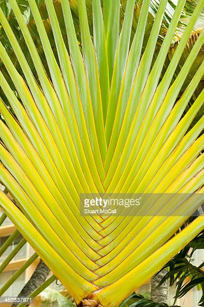 Fan shaped palm