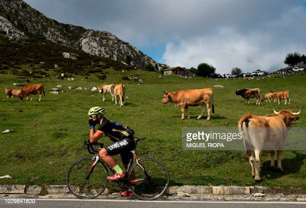 TOPSHOT A fan waits next to cows grazing near the Lakes of Covadonga during the 15th stage of the 73rd edition of La Vuelta Tour of Spain cycling...