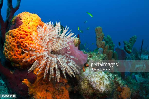 Fan Worm (Spirographis spallanzanii) and Sponges on a Coral Reef