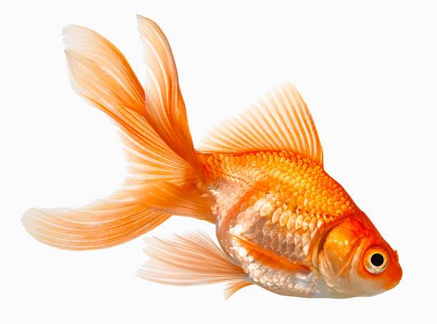 Natural Fish Food For Goldfish