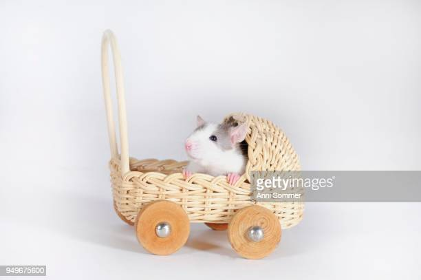 fancy rat (rattus norvegicus forma domestica) in miniature pram, cutout - forma stock pictures, royalty-free photos & images