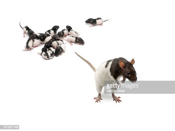 Fancy Rat next to its babies and looking away