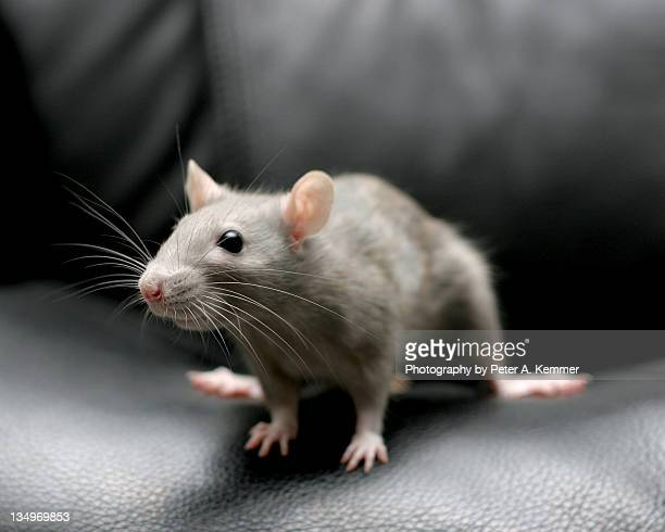 fancy rat perches on seat of black leather chair - ratazana imagens e fotografias de stock