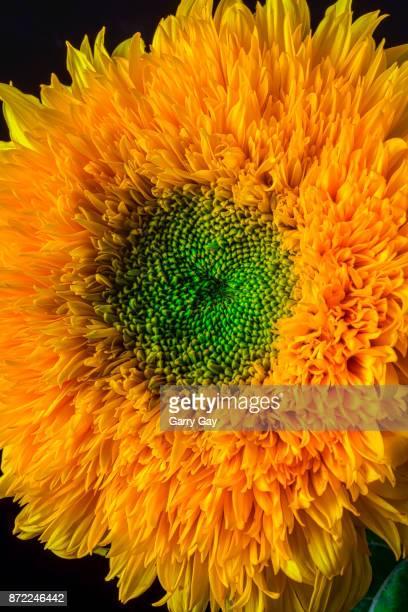 Fancy Sunflower