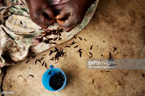 Fane Jalazi age 68 cleans some flying ants that she has caught and will eat later on November 10 2005 in Galufu Malawi She has caught them around the...