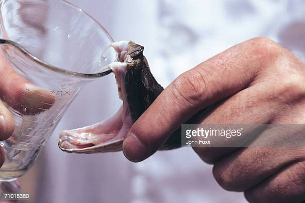 fangs of snake - toxin stock pictures, royalty-free photos & images
