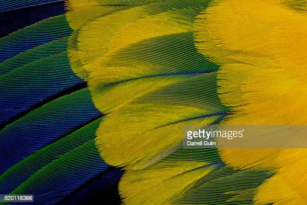 Fanned out wing feathers in blue, green and yellow of Sun Conure