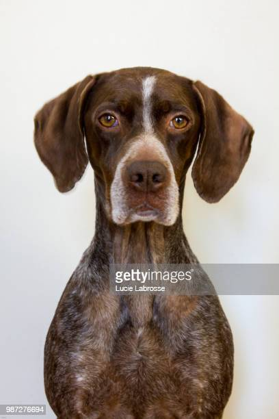 fannie - german shorthaired pointer stock pictures, royalty-free photos & images