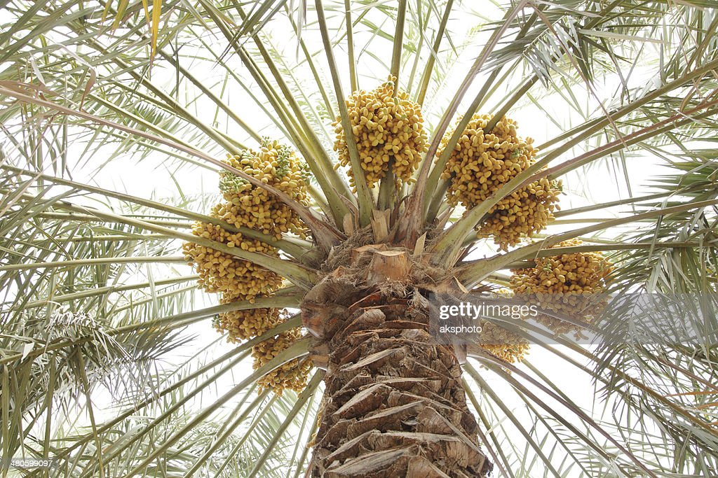 Fanning up dates leaves with yellow dates clusters : Stock Photo