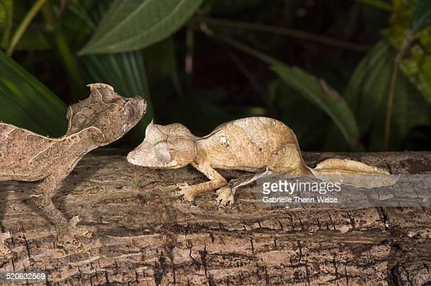 Fantastic leaf tailed gecko