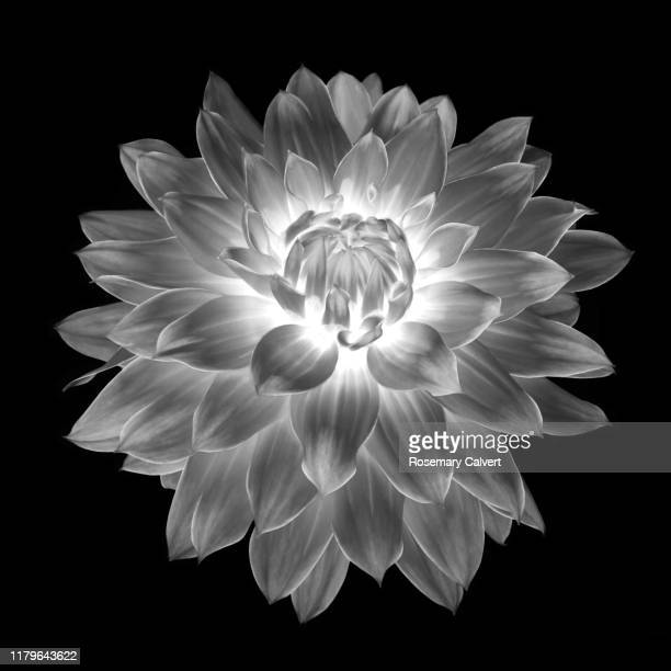 fantasy dahlia flower in black and white, on black square. - digital enhancement stock pictures, royalty-free photos & images