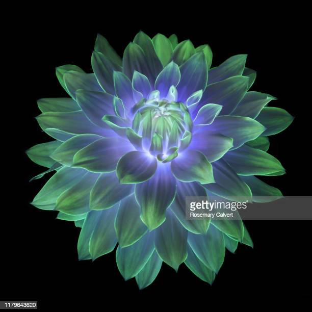 fantasy dahlia flower, petals of green & purple, on black. - digital enhancement stock pictures, royalty-free photos & images