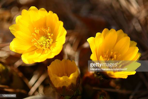 far east amur adonis flowers - chofu stock pictures, royalty-free photos & images