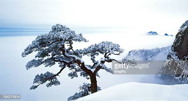 fare-well pine tree - bonsai tree stock pictures, royalty-free photos & images