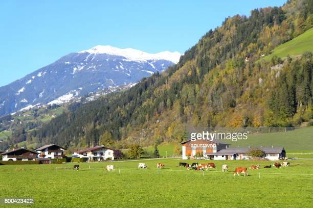 Farm and cows livestock -  Majestic Zillertal, Tyrol Snowcapped mountain range panorama and Idyllic Tirol valley meadows, Austria