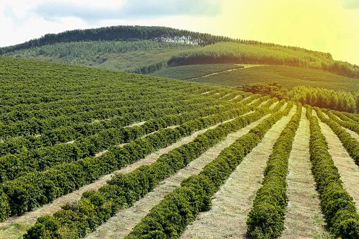 Farm coffee plantation in Brazil 938716300